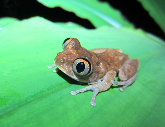 "Meet Ghana's Beloved ""Lady"": The Night Spirit Frog"